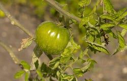 Organic green tomato Stock Photos