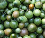 Organic green tomatoes just ripped from the bush. Natural organic green tomatoes freshly picked from a bush Stock Images