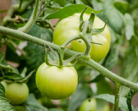Organic Green Tomatoes Ripening on the Vine in a Garden Royalty Free Stock Images