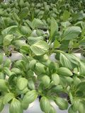 Organic Green Vegetable Using Water Circulation. Organic green vegetable grow using water circulation royalty free stock photo