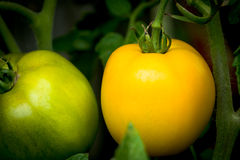 Organic green and yellow tomatoes. Organically grown green and yellow tomatoes on the vine in a vegetable garden Royalty Free Stock Images