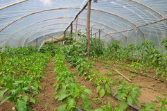 100% Organic Greenhouse. Small countryside greenhouse and pure natural veggies Stock Photo