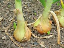 Organic growing onions. Stock Photo