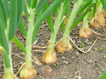 Organic growing onions. Stock Images