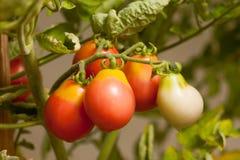 Organic grown tomato. Close up organic grown tomato on a vine stock image