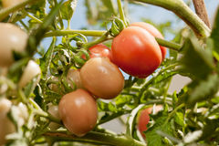 Organic grown tomato on a vine. Close up organic grown tomato on a vine Stock Photography