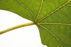 Organic growth. Leaf detail showing growth structure Royalty Free Stock Image