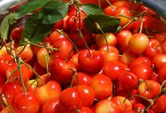 Organic Hand Picked Cherries Stock Image