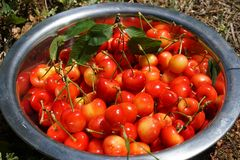 Organic Hand Picked Cherries Stock Images