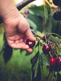 Organic hand-picked cherries Royalty Free Stock Photography