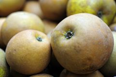 Organic, hand-picked Egremont Russet eating apple Royalty Free Stock Photography