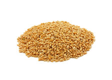 Organic hard red winter wheat Royalty Free Stock Image