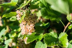 Organic and healthy white currants ready to be picked. White currant fruit on the bush with green leaf Royalty Free Stock Image