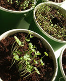 Herb seedlings Royalty Free Stock Photos