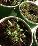 Herb seedlings. Organic herb and vegetables seedlings growing in the soil Royalty Free Stock Photos
