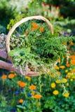 Organic herbs Stock Image