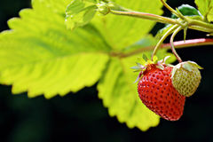 Organic home grown ripe strawberry with an unripe strawberry fruits on the branch. A two strawberries grow on a branch. One is ripe and ready to be picked, the royalty free stock images