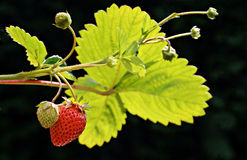 Organic home grown ripe strawberry with an unripe strawberry fruits on the branch. A two strawberries grow on a branch. One is ripe and ready to be picked, the stock images