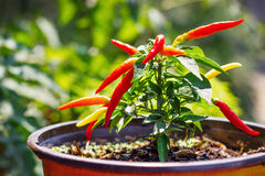 Organic homegrown chili peppers Stock Images