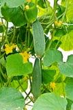 Organic Homegrown Cucumbers Stock Photos