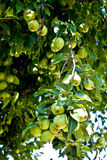 Organic Homegrown Pears in Tree Royalty Free Stock Photo