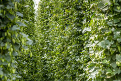 Organic Hops Farm for Brewing Beer Royalty Free Stock Images