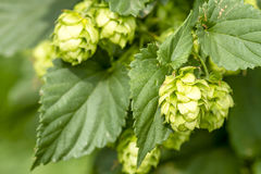Organic Hops Farm for Brewing Beer Stock Photos