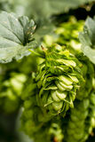 Organic Hops Farm for Brewing Beer Royalty Free Stock Photos