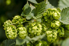 Organic Hops Farm for Brewing Beer Royalty Free Stock Image