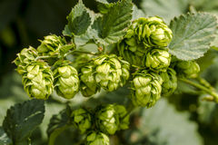 Organic Hops Farm for Brewing Beer Stock Images