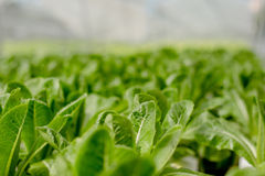 Organic hydroponic farm Stock Photography