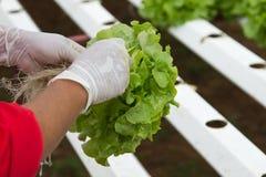 Organic hydroponic Stock Photo