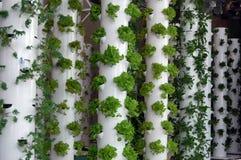 Organic Hydroponic Herbs stock photography