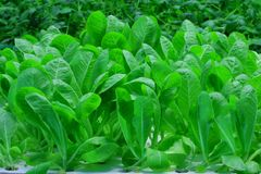 Organic hydroponic lettuce Royalty Free Stock Images