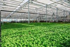Organic hydroponic ornamental plants cultivation nursery farm. Large modern greenhouse royalty free stock photography