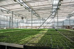 Organic hydroponic ornamental plants cultivation nursery farm. Large modern hothouse or greenhouse, farming growing seedings royalty free stock images