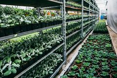 Organic hydroponic ornamental plants cultivation nursery farm. Large modern hothouse or greenhouse royalty free stock images