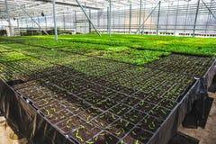 Organic hydroponic ornamental plants cultivation nursery farm. Large modern greenhouse stock photography