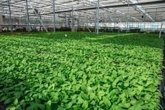 Organic hydroponic ornamental plants cultivation nursery farm. Large modern greenhouse stock photo