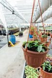 Organic hydroponic ornamental plants cultivation nursery farm. Large modern hothouse or greenhouse stock image