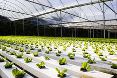 Organic hydroponic plant growing Royalty Free Stock Images