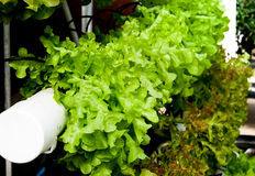The Organic hydroponic vegetable Royalty Free Stock Image