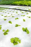 Organic hydroponic vegetable Royalty Free Stock Photography