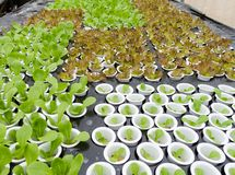 Organic hydroponic vegetable royalty free stock image