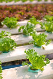 Organic Hydroponic vegetable. Farm without chemical Royalty Free Stock Images
