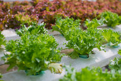 Organic Hydroponic vegetable. Farm without chemical Royalty Free Stock Image