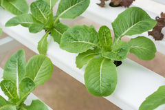 Organic hydroponic vegetable. Stock Photos