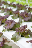 Organic hydroponic vegetable. Royalty Free Stock Images