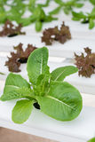 Organic hydroponic vegetable. Stock Photography