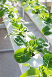 Organic hydroponic vegetable. Royalty Free Stock Image